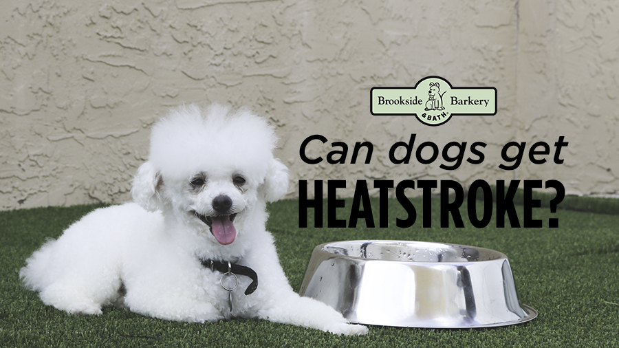 White fluffy poodle dog heatstroke