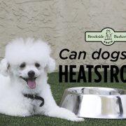 White fluffy poodle dog heatstroke
