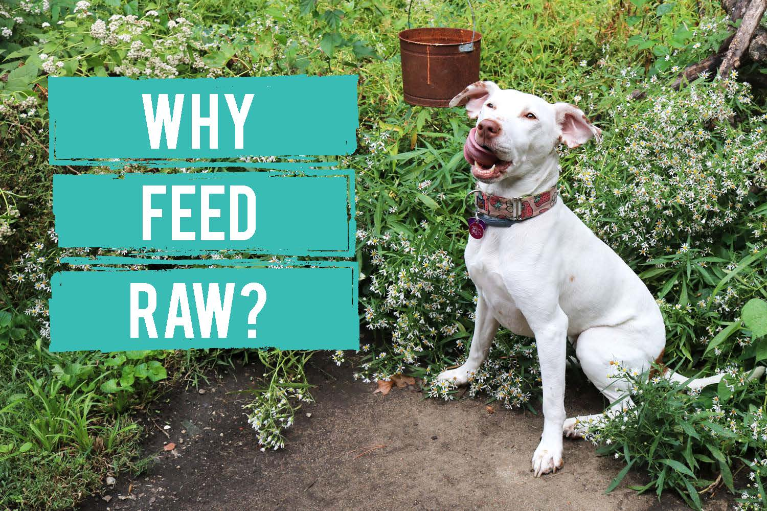 Raw Diets for Dogs: Are They Better?